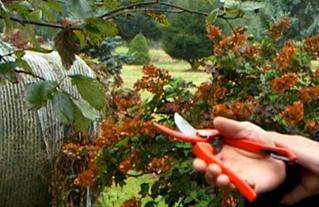 Taille et gestion rationnelle des arbustes d'ornement.png